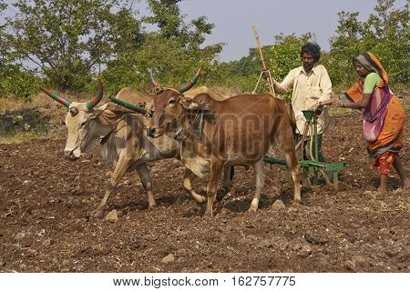 MANDU, MADHYA PRADESH, INDIA - NOVEMBER 19, 2008: Indian couple planting a field of corn using oxen in the hilltop fortress of Mandu in Madhya Pradesh, India.