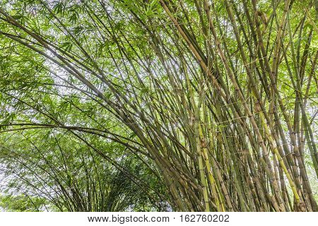 bamboo grove in the morning at the jungle