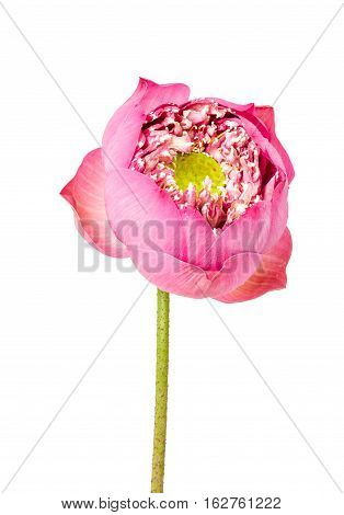 Blooming beautiful Single lotus flower isolated on white background Saved clipping path.