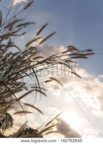 Desho grass Pennisetum pedicellatum and blue sky background warm light