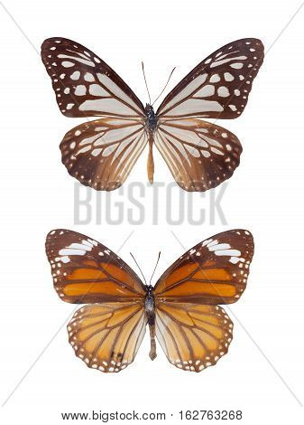 danaus chrysippus two tiger spots butterflies isolated on white with clipping path