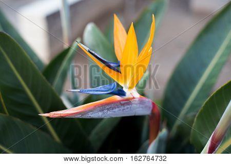 A beautiful Bird of Paradise plant in full bloom.