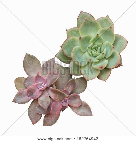 succulent plant isolated on white with clipping path