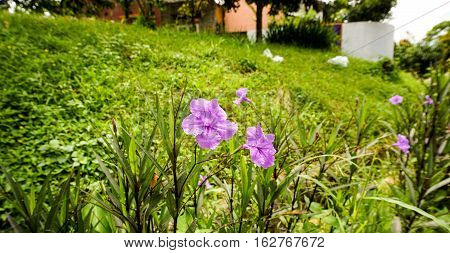 Violet flower in the middle of green grassland taken in bogor indonesia java