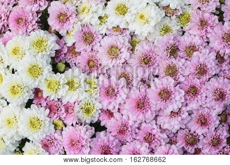 Beautiful Chrysanthemum Flowers Closeup Chrysanthemum for background.