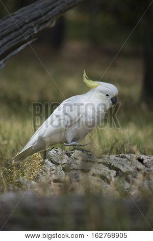 Wild Sulphur-crested Cockatoo (cacatua Galerita) With Foot Up