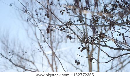 alder tree branch buds swaying in wind nature landscape offensive spring