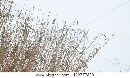 cattail dry grass reeds on river in snow winter landscape Russia