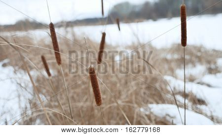 cattail reeds dry grass on the river in snow winter landscape Russia