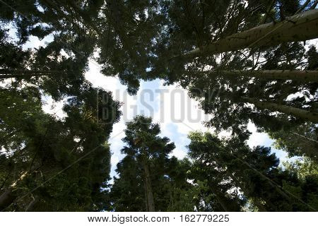 Looking up at a canopy of pine spruce trees with sun shining through branches blue sky and white clouds showing wide angle of various tree trunks and foliage.