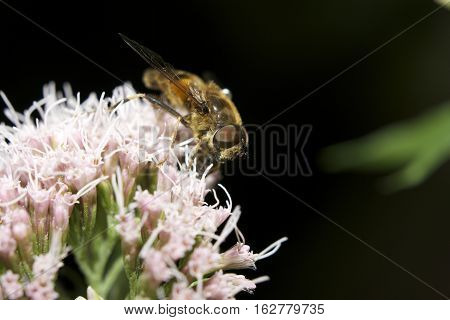 A macro image of light haired british honey bee clearly showing it's eyes and legs upon a pinkish flower in front of a black background also showing stationary wings.