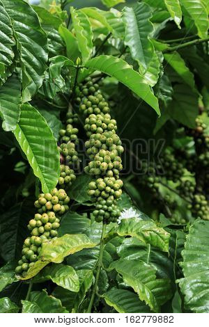 Close-up of branch with berries coffee in plantations province of Lam Dong. Vietnam
