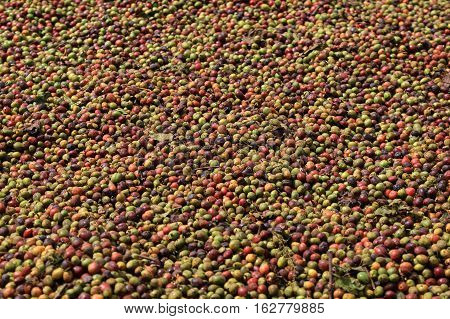 Full frame photo of raw coffee beans drying in the sun