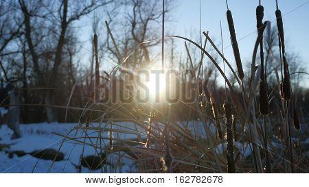 dry grass reeds in swamp snow winter nature sun glare