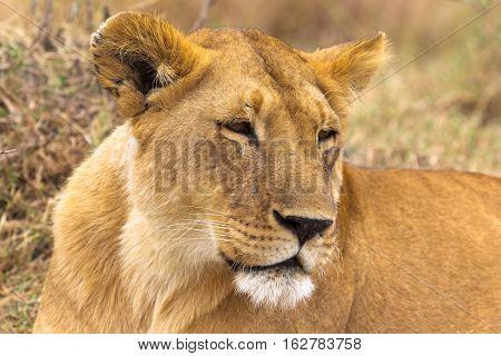Beautiful lioness from savanna of Serengeti, Africa