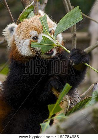 Red Panda Hiding/ Eating Cute