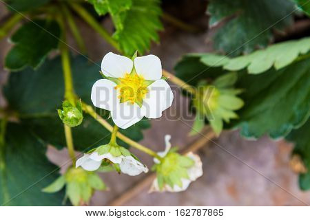 close up of strawberry flower in the field shallow depth of field with blur background