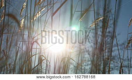 dry grass spikes swaying in wind winter marsh snow sunlight landscape nature