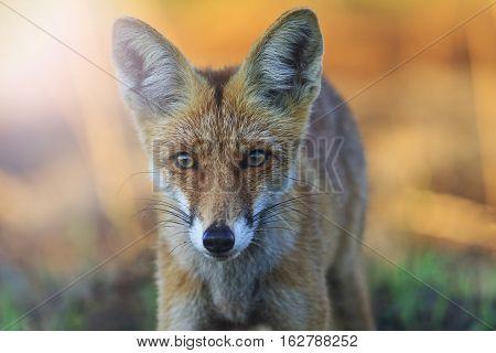 fox beautiful portrait at sunrise with sunny hotspot, animal, trick, wild animal, morning