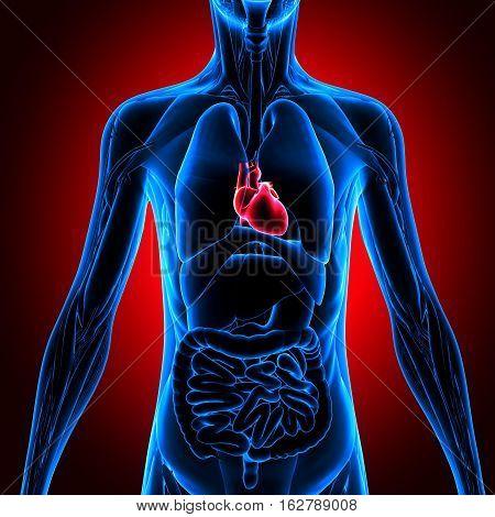 3d illustration human body heart.human body part