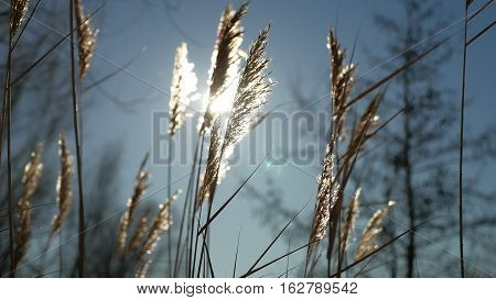 dry grass spikes swaying in wind winter marsh snow sunlight nature landscape