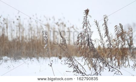 dry winter grass sways in wind in snow landscape nature