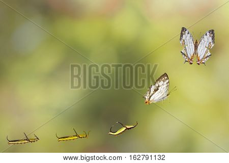 Transformation Of Common Map (cyrestis Thyodamas ) Butterfly