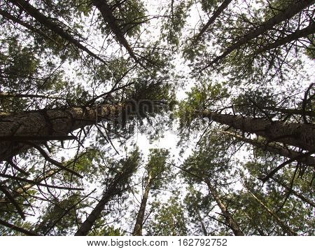 Pine Trees With Sun Shining Through The Canopy