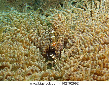 The surprising underwater world of the Bali basin, Island Bali, Puri Jati, sea anemone