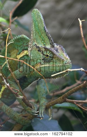 Green & Brown Chameleon on branch Close, looking side on in jungle