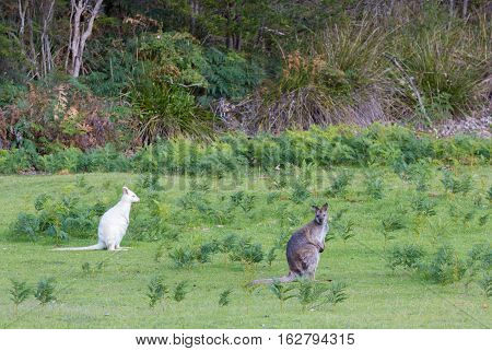 White albino bennets wallaby with brown grey wallaby
