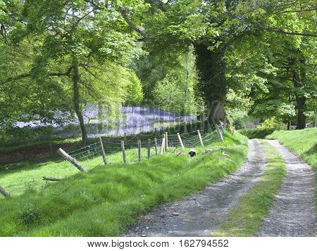 Path or road through countryside with bluebells and a fence