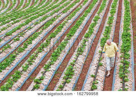 CHIANG MAI THAILAND - 18 December 2016 - A man tends to his young strawberry crops in his farm in Chiang Mai Thailand on December 18 2016.