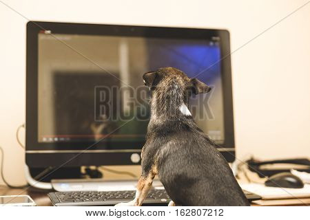 Black chihuahua sitting in front of a computer screen.
