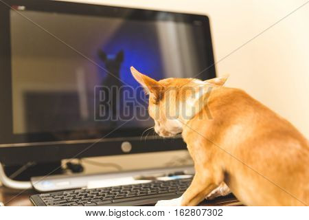 Chihuahua puppy sitting in front of a computer, looking at screen.