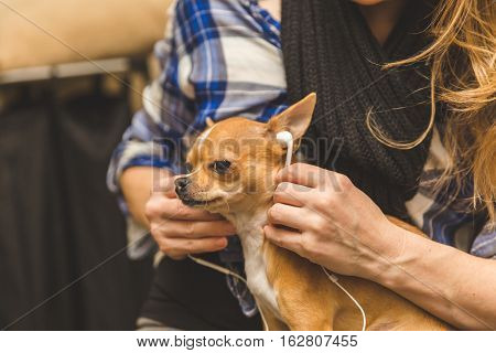 Woman sharing her headphones or earbuds with a cute chihuahua puppy.