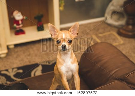 Cute chihuahua puppy standing on couch in living room, looking very perky. Santa toy in background.