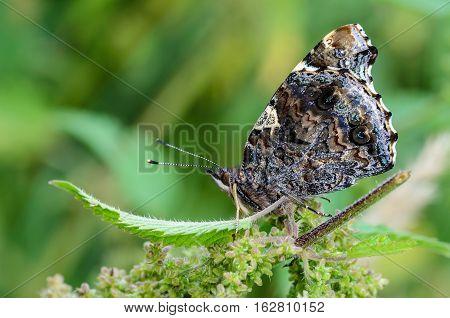 Butterfly Vanessa Atalanta