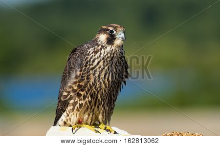 A wildlife capture of a Falcon perching on a stump. Dec 2016