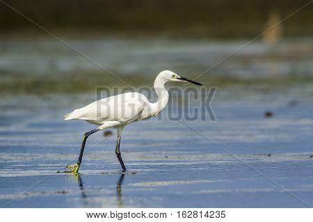 Little egret in Kalpitiya, Sri Lanka ; specie Egretta garzetta family of Ardeidae