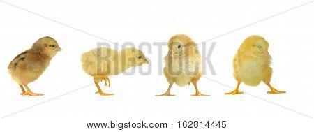 yellow sleepy chicks on a white background