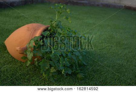 Parsley plant in a clay amphora, winter