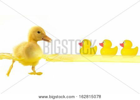 toy and swimming nestling of duck on white background