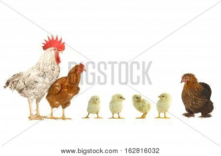 hen and rooster isolated on a white background