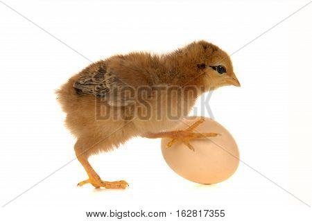 chick and egg isolated on a white background