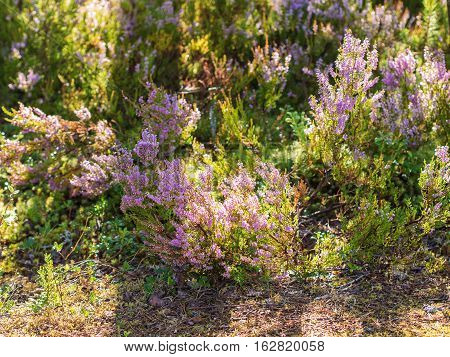 blooming heather on a sunny summer day