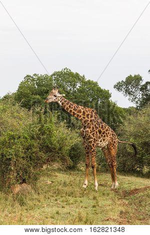 Giraffe among a tree. Masai Mara, Africa