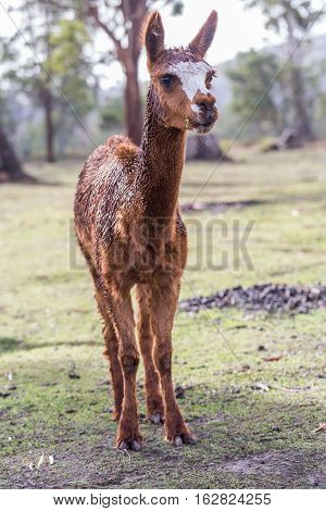 Alpaca (Vicugna pacos) eating and chewing on a fresh leaf in natural background