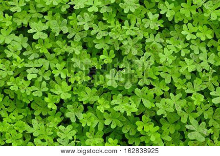 Many Green Clovers on a Country Field