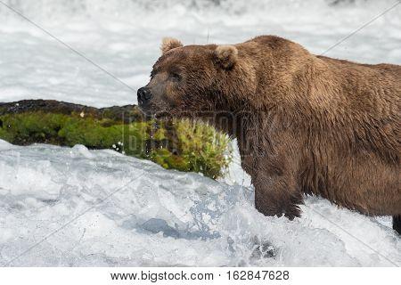 Large Alaskan Brown Bear